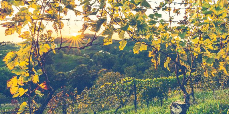 Urlaub im Weinland Slowenien - Weinberg Südsteiermark