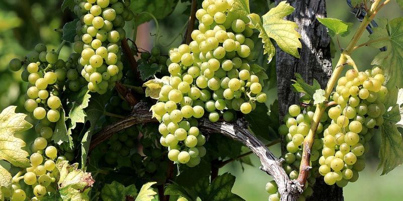 Urlaub im Weinland Slowenien - Weintrauen